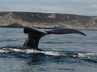 Whale tail in puerto madryn
